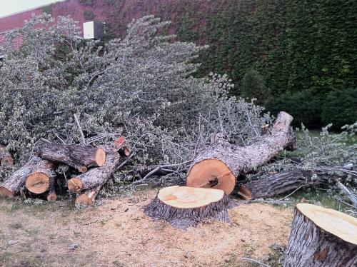 huge trees felled